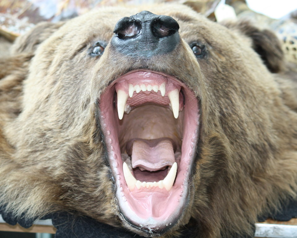 grizzly bear open wide